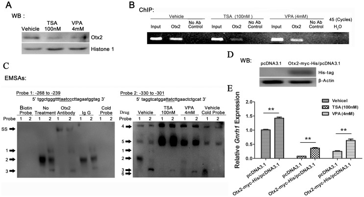 Otx2-mediated transcription activation of Gnrh1 gene modulated by HDACs. (A) Accumulation of Otx2 in nuclei was repressed by HDACIs in GT1–7 cells. The affinity of Otx2 to the proximal Gnrh1 gene promoter was suppressed by HDACIs determined by ChIP (B) and EMSA analysis (C). EMSA was performed with GT1–7 nuclear protein extracts using the DNA probes containing the Otx2-binding sites in the mouse Gnrh1 promoter. A supershifted protein complex ( SS ) was observed on both probes after addition of an Otx2 antibody. A 200-fold excess of unlabeled probes didn't eliminate binding of Otx2 to both probes (complex 2). Complex 1, 3 and 4–6 might non-specific binding. (D) Western blot analysis of protein extracts obtained from GT1–7 cells transfected with pcDNA™ 3.1/ myc -His C empty vector or Otx2-myc-His/pcDNA3.1 expression vector. (E) HDACIs-induced dowenregulation of Gnrh1 mRNA was partly rescued by overexpression of Otx2. The value for empty vector transfected control group without drug treatment was set as 1.0. (n = 3; * p
