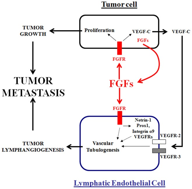 Schematic representation of FGFs-mediated tumor growth, metastasis and lymphangiogenesis. Tumor-secreted FGFs (red) play a central role in the induction of tumor metastasis, both directly by stimulating cancer cell proliferation and indirectly by upregulating VEGF-C expression in tumor cells (black). Tumor secreted FGFs might also induce directly lymphatic tube formation as previously demonstrated in vitro (dashed black line). Thus, tumor VEGF-C activates its VEGFR-2 and VEGFR-3 receptors on lymphatic endothelial cells, leading to lymphatic vessel formation. Tumor FGFs promote also pro-lymphatic gene expression (such as VEGFR-2, VEGFR-3, netrin-1, prox1 and integrin α9) in lymphatic endothelial cells (blue). Both tumor growth and lymphangiogenesis lead to tumor metastasis.