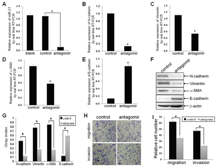 Antagonism of miR-21 reversed EMT phenotype, as well as decreased cell migration and invasion. MDA-MB-231 cells were transfected with hsa-miR-21 antagomir or hsa-miR-21 antagomir control at a final concentration of 50 nmol for 48 h. (A) MDA-MB-231 cells were treated with hsa-miR-21 antagomir decreased the expression of miR-21, as compared to control groups (n1 = n2 = 3; p = 0.0015), by real-time RT-PCR analysis. (B-E) The mRNA levels of mesenchymal biomarkers (N-cadherin, Vimentin and alpha-SMA) and epithelial biomarker (E-cadherin) in MDA-MB-231/anti-miR-21 cells and MDA-MB-231/control cells, as measured by real-time RT-PCR analysis. The real-time RT-PCR reactions were performed in a 20 µl reaction volume in triplicate, simultaneously. (F, G) The relative protein levels of EMT markers in indicated cells were shown by Western blot analysis, and bands were semi-quantified using ImageJ software. Beta-actin was used as loading control. (H, I) The migratory and invasive properties of indicated cells were tested in migration and invasion assay in Transwell inserts. Penetrated cells were counted and analyzed in histogram. Data represent at least three experiments done in triplicate. (*indicates p