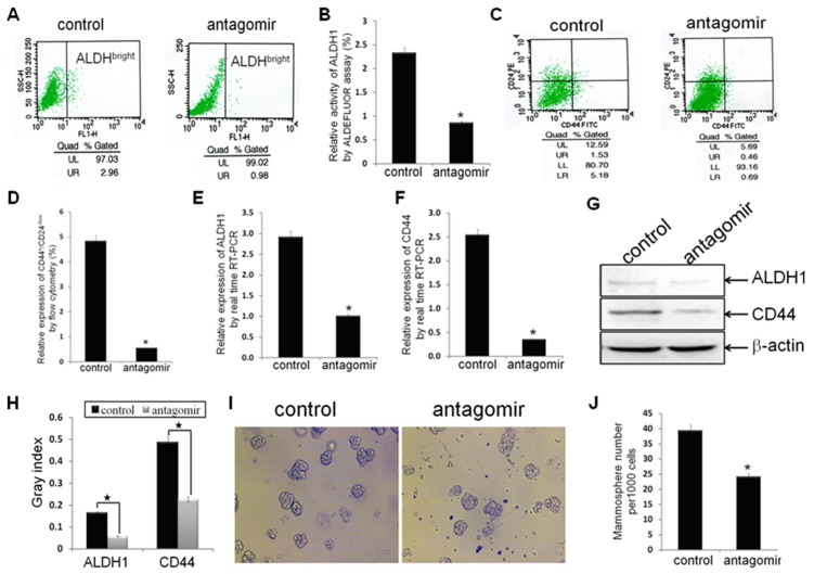 Antagonism of miR-21 reversed CSC phenotype. (A, B) ALDH1 enzymatic activity (ALDH bright ) in established breast cancer MDA-MB-231/anti-miR-21 cells and MDA-MB-231/control cells (n1 = n2 = 3) were detected using the ALDEFLUOR assay. (C, D) The CD44 + /CD24 −/low phenotype in indicated cells (n1 = n2 = 3) were detected by FACS analysis. (E, F) The relative mRNA levels of ALDH1 and CD44 were detected by real time RT-PCR assay. (G, H) The relative protein levels of ALDH1 and CD44 were detected by Western blot analysis. Beta-actin was used as loading control. (I, J) The number of mammospheres from 1000 MDA-MB-231/anti-miR-21 cells or MDA-MB-231/control cells was counted under microscope. All the data represent at least three experiments done in triplicate. (*indicates p