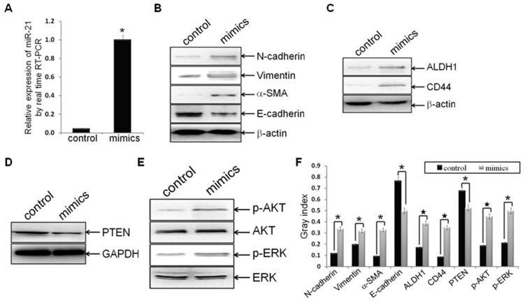 Hsa-miR-21 mimics induced EMT and CSC phenotype, accompanied with PTEN down-regulation and AKT/ERK1/2 activation. Established MDA-MB-231/anti-miR-21 cells were transfected with hsa-miR-21 mimics at a concentration of 40 nmol for 72 h. (A) MDA-MB-231/anti-miR-21 cells were treated with hsa-miR-21 mimics elevated the expression of miR-21, as compared to control groups (n1 = n2 = 3; p = 0.00373), by real-time RT-PCR analysis. (B-F) Protein levels of mesenchymal markers (N-cadherin, Vimentin and alpha-SMA) (B), epithelial marker (E-cadherin) (B), CSC markers (ALDH1 and CD44) (C), PTEN (D), p-AKT and AKT (E), as well as p-ERK1/2 and ERK1/2 (E) in indicated cells were measured by Western blot analysis, and bands were semi-quantified using ImageJ software (F). Beta-actin or GAPDH was used as loading control. (*indicates p