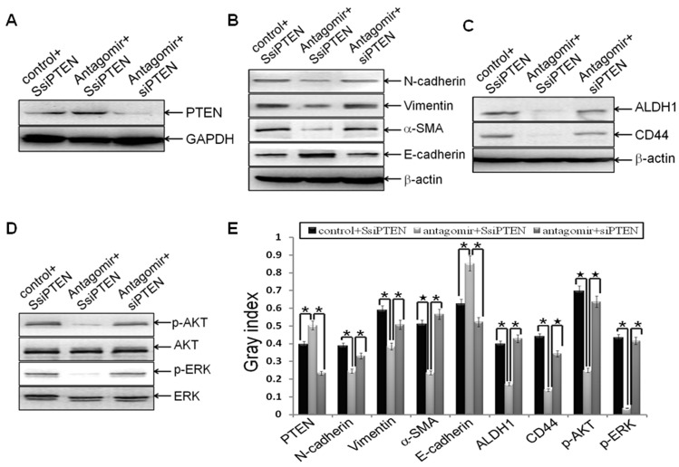 PTEN was the downstream target of miR-21 during reversing EMT and CSC phenotype . MDA-MB-231 cells were transfected with siPTEN or the scrambled control SsiPTEN at a final concentration of 50 nmol for 24 h. Then the cells were transfected with hsa-miR-21 antagomir or negative control at a final concentration of 50 nmol for 72 h. Cells were trypsinized, and the relative protein levels of PTEN (A), EMT markers (B), CSC surface markers (C), p-AKT and AKT (D), as well as p-ERK and ERK (D) were measured and semi-quantified (E) as stated before. The representative plugs from treatments of SsiPTEN plus miR-21 antagomir control, SsiPTEN plus miR-21 antagomir, and siPTEN plus miR-21 antagomir were shown in the picture. Beta-actin or GAPDH was used as loading control. (*indicates p