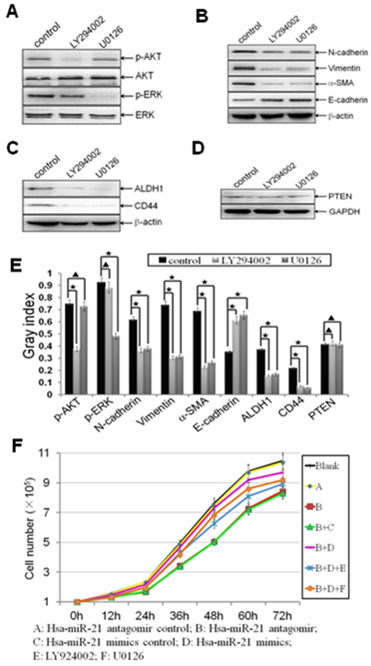 MiR-21 regulated EMT and CSC phenotype through mediating AKT and ERK1/2 activation. Established MDA-MB-231/anti-miR-21 cells were transfected with hsa-miR-21 mimics at a concentration of 40 nmol for 72 h. Then the cells were trypsinized, and treated with LY294002 (20 µmol/l) or U0126 (10 µmol/l) for 24 h. (A-E) The relative protein levels of p-AKT and AKT (A), p-ERK and ERK (A), EMT markers (B), CSC surface markers (C), as well as PTEN (D) from blank control, LY294002, and U0126 treatment groups were shown, and semi-quantified (E) as stated before. Beta-actin or GAPDH was used as loading control. (*indicates p