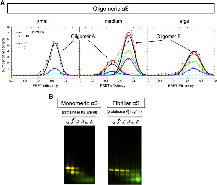Analysis of the Stability of the Different Protein Species against Proteinase K Degradation, Related to Figure 3 (A) Incubations of an aliquot of an aggregation sample at late incubation times (around 100 h) with different concentrations of proteinase K were analyzed by single-molecule fluorescence to determine the stability of the different oligomeric species against proteinase K degradation. The pair of A small and A med distributions shows similar dependence on proteinase K concentration, as well as for the pair of B med and B large distributions, although this latter pair has much higher resistance to proteinase K. (B) The stability to proteinase K degradation of monomeric and fibrillar forms of αS was estimated from the disappearance of the band corresponding to full-length monomeric in a SDS-PAGE gel. Different concentrations of proteinase K were used as indicated in the figure. All samples from monomeric, fibrillar and oligomeric forms of αS were treated exactly in the same way for direct comparison.