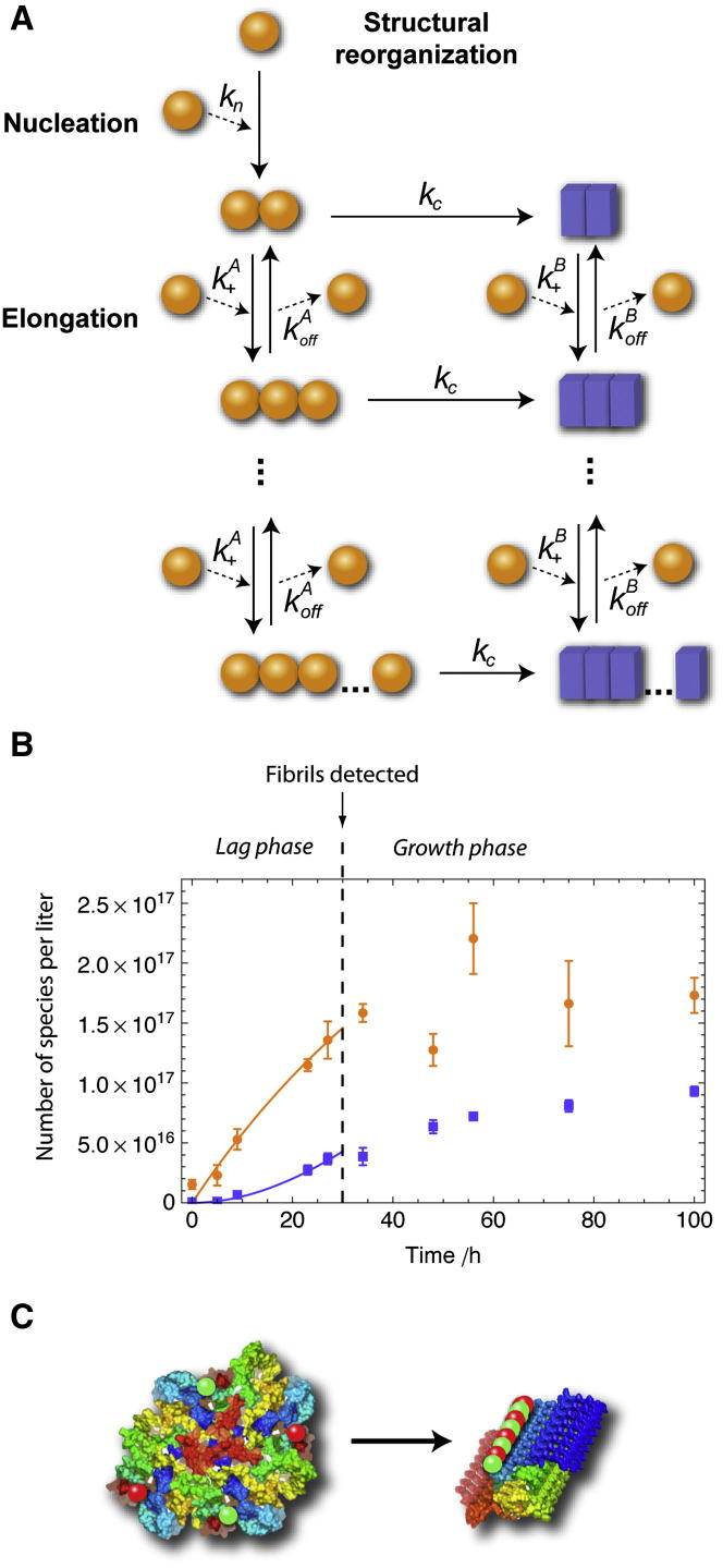Kinetic Analysis of αS Oligomerization (A) Scheme for the minimalistic kinetic model used to fit the early stages of αS aggregation. (B) Results of the global fitting (continuous lines) of the kinetics of formation of the two types of oligomeric species estimated under bulk conditions from smFRET experiments. Data for type A oligomers and type B oligomers are shown as orange circles and blue squares, respectively (average and standard error of five different experiments). The vertical dashed line is at 30 hr, corresponding to the lag phase of fibril formation estimated under bulk conditions, up to which time our model accounts well for the different microscopic processes governing the aggregation reaction. (C) Cartoon showing the conversion of an 8-mer of αS from a collapsed to an ordered <t>proteinase-K-resistant</t> form. Residues of each monomer are colored according to their location in the amino acid sequence. The average distance between fluorophores, represented as green and red spheres, is different for each type of oligomer and hence gives rise to different average FRET efficiencies.