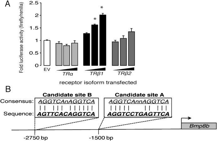 Regulation of the BMP8B Promoter, Related to Figure 1 (A) Luciferase activity in HEK293 cells driven from 3 kb of the BMP8B promoter following co-transfection with plasmids overexpressing the indicated TR isoforms. n = 3 experiments carried out in triplicate. (B) Schematic diagram of 3 kb of the murine BMP8B promoter indicating location and sequences of the 2 identified candidate PPREs. ∗ p