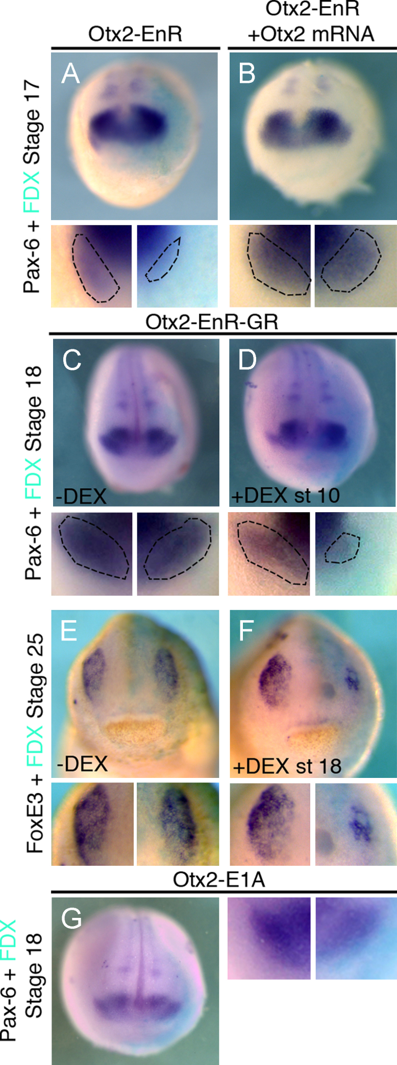 Activation of Otx2 target genes is required at early and late stages of lens placode formation. (A), (B) Otx 2 -EnR inhibits Pax 6 in the lens at stage 17 (50%, n =26). This is rescued by co-injection of Otx 2 ((B); inhibition reduced to 15%, n =20). (C)–(F) Activation of Otx 2 -EnR-GR at stage 10 reduces lens-specific Pax 6 at stage 18 ((D) 52%, n =25); without DEX Pax 6 expression is normal ((C) 0% affected, n =23). FoxE 3 at stage 25 is normal without DEX ((E) 0% affected, n =30), while addition of DEX at stage 18 leads to reduction ((F) 64%, n =22). (G) Otx 2 -E 1 A activates Otx2 targets but does not affect lens Pax 6 (0% affected, n =25). All embryos were injected into the A3 blastomere at the 32-cell stage and are shown in frontal view with dorsal to the top. High magnifications of the lens region are shown below each panel; dotted lines demarcate placodal Pax 6. Turquoise staining reveals the lineage tracer FDX.