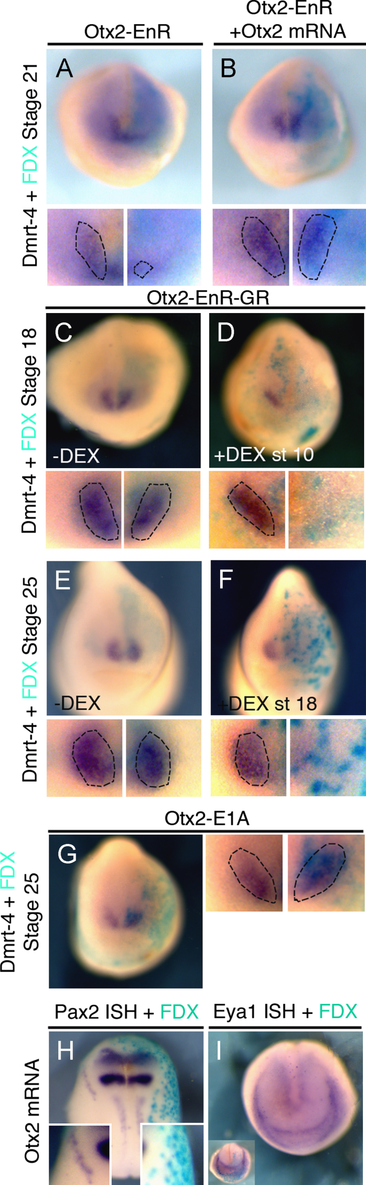 Activation of Otx2 target genes is required at early and late stages of olfactory placode formation. (A), (B) Otx 2 -EnR inhibits the olfactory placode marker Dmrt 4 at stage 21 (59%, n =29). This is rescued by co-injection of Otx 2 ((B) inhibition reduced to 12%, n =33). (C–F) Otx 2 -EnR-GR injections: in the absence of DEX Dmrt 4 expression is normal ((C) 5% affected, n =20); when DEX is added at stage 10 Dmrt 4 expression is lost at stage 18 ((D) 59%, n =44). At stage 25 Dmrt 4 is normal in absence of DEX ((E) 8% affected, n =26), while activation at stage 18 strongly reduces Dmrt 4 ((F); 63%, n =24). (G) Otx 2 -E 1 A has no effect on Dmrt 4 (0% affected, n =14). (H)–(I) Otx 2 mRNA reduces Pax 2 ((H) 72%, n =25), but does not change Eya 1 ((I) 0% affected, n =44). All embryos were injected into the A3 blastomere at the 32-cell stage and are shown in frontal view with dorsal to the top. High magnifications of the olfactory region are shown in small panels; dotted lines demarcate placodal Dmrt 4. Turquoise staining reveals the lineage tracer FDX.