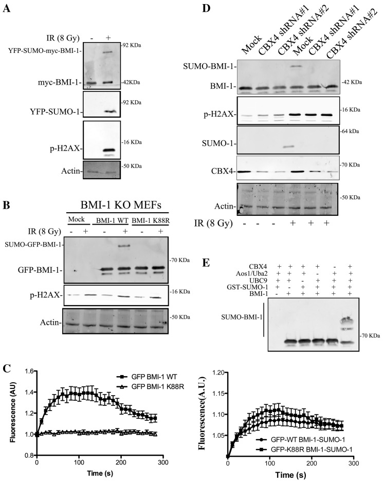 DNA damage-induced sumoylation of BMI1 at lysine 88. ( A ) 293T cells transiently transfected with CBX4, myc-tagged BMI1, Ubc9 and YFP-SUMO-1 were irradiated with 6 Gy and permitted to recover for 1 h at 37°C. Nuclear extracts were prepared and immunoprecipitated using myc or GFP-specific antibody. Immunoblot analysis was done using BMI1 antibody. As a control different blots were run simultaneously and probed with γ-H2AX and actin. ( B ) BMI1 KO MEFs reconstituted either with empty vector, GFP-BMI1 WT or GFP-BMI1 K88R constructs were treated as in (A). Nuclear extracts and immunoprecipitations were done using GFP antibody. Immunoblot analysis was done using BMI1 antibody. ( C ) Time-lapse fluorescence microscopy of GFP- WT BMI1, GFP- K88R-BMI1, GFP- WT-BMI1-SUMO1 or GFP-K88R-BMI1-SUMO-1 in U2OS following laser micro-irradiation. The fluorescence intensity values in the micro-irradiated areas were pooled from 10 to 15 independent cells from three independent experiments and plotted on a time scale. ( D ) U2OS cells expressing Ubc9 and SUMO-1 were transfected with either control or one of the two different CBX4, shRNA were irradiated with 6 Gy and permitted to recover for 1 h at 37°C. Nuclear extracts were immunoprecipitated and immunoblotted using BMI1 antibody. ( E ) CBX4 promotes SUMO-1 conjugation to BMI1 in vitro . Purified proteins GST-tagged BMI1 and GST-tagged CBX4 proteins were incubated with recombinant Aos1/Uba2 (E1), Ubc9 and SUMO-1 as indicated. The reaction mixture was analyzed by western blotting using anti-BMI1antibody.