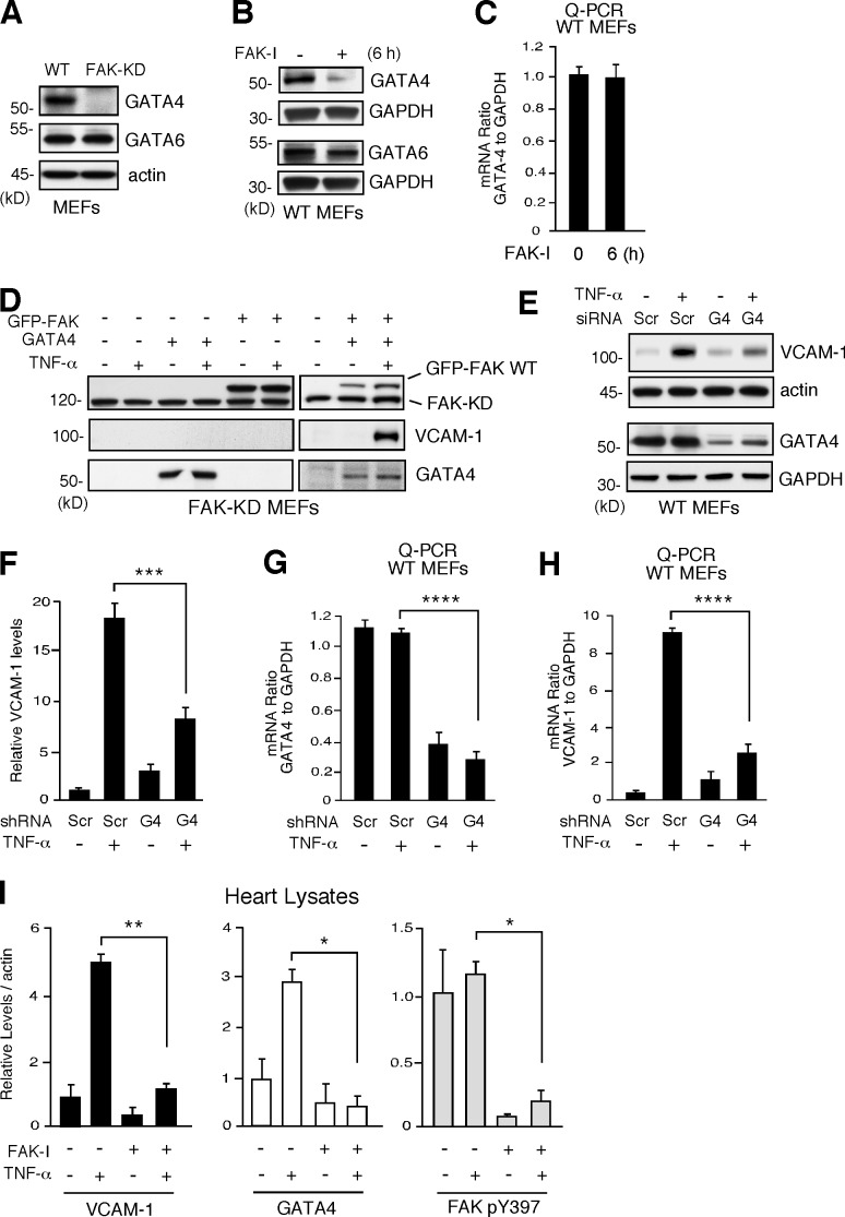FAK inhibition decreases GATA4 levels needed for TNF-α–induced VCAM-1 expression. (A) Steady-state GATA4 and GATA6 levels in FAK-WT and FAK-KD MEFs, as determined by immunoblotting with actin as a control. (B) FAK-WT MEFs treated with DMSO or FAK-I (1 µM PF271, 6 h) and lysates blotted for GATA4 or GATA6. Anti-GAPDH blotting is shown as loading controls. (C) GATA4 mRNA levels to GAPDH were determined by Q-PCR (±SD; n = 3) in experiments, as described in B. (D) Rescue of TNF-α–induced VCAM-1 expression in FAK-KD MEFs by combined FAK-WT and GATA4 expression. Combinations of GFP-FAK and GATA4 were transfected into FAK-KD MEFs. After 24 h, cells were stimulated with 10 ng/ml TNF-α, as indicated, and FAK, VCAM-1, and GATA4 immunoblotting was performed at 40 h. (E) FAK-WT MEFs were transfected with Scr or GATA4 (G4) siRNA and, after 48 h, stimulated with TNF-α (10 ng/ml, 6 h), and immunoblotting was performed for VCAM-1 and GATA4. Anti-actin and anti-GAPDH blotting are shown as loading controls. (F) Densitometry analyses of VCAM-1 protein levels relative to actin, as described in E. (±SD; n = 2; ***, P