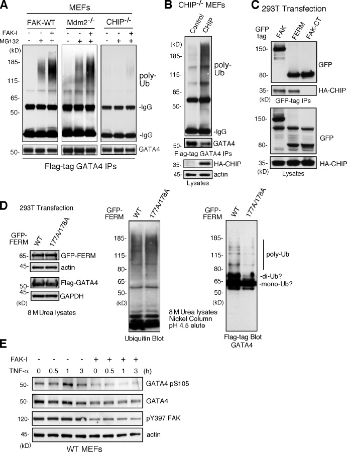 FAK-enhanced GATA4 polyubiquitination is dependent on CHIP and FAK-FERM nuclear localization. (A) FAK-WT, Mdm2 −/− p53 −/− , and CHIP −/− MEFs were transfected with flag-tagged GATA4 and treated with MG132 (40 µM, 3 h) and FAK-I (1 µM PF271), as indicated. Flag tag immunoprecipitates (IPs) were evaluated by anti-ubiquitin (Ub) and GATA4 immunoblotting and show no ubiquitination of GATA4 in CHIP −/− MEFs. (B) CHIP −/− MEFs were transfected with HA-tagged CHIP and flag-tagged GATA4 and treated with MG132 (40 µM, 3 h) and FAK-I (1 µM PF271). Flag tag immunoprecipitates were evaluated by anti-ubiquitin and GATA4 immunoblotting and show rescue of GATA4 ubiquitination by CHIP reexpression. Lysates show HA-CHIP and actin expression. (C) 293T cells were cotransfected with GFP-tagged FAK, FAK-FERM, and FAK-CT with HA-CHIP. Coimmunoprecipitation analyses with antibodies to GFP reveal FAK-FERM and CHIP association by immunoblotting. Lysates show equal levels of GFP-FAK and HA-CHIP expression. (D) 293T cells were transfected with GFP-tagged FAK-FERM WT or FAK-FERM R177A/R178A, flag-tagged GATA4, and His-tagged ubiquitin and denatured lysates (8 M urea) purified by nickel agarose affinity binding. GFP-FERM and Flag-GATA4 (with actin and GAPDH as loading controls; left), total eluted ubiquitinated proteins (middle), and mono-, di-, and polyubiquitinated GATA4 (right), as determined by immunoblotting, are shown. (E) FAK-WT MEFs pretreated with DMSO or FAK-I (1 µM PF271, 30 min) were stimulated with 10 ng/ml TNF-α for the indicated times, and lysates were prepared for immunoblotting. Blots for activated GATA4 (pS105), total GATA4, activated FAK (pY397), and actin are shown.