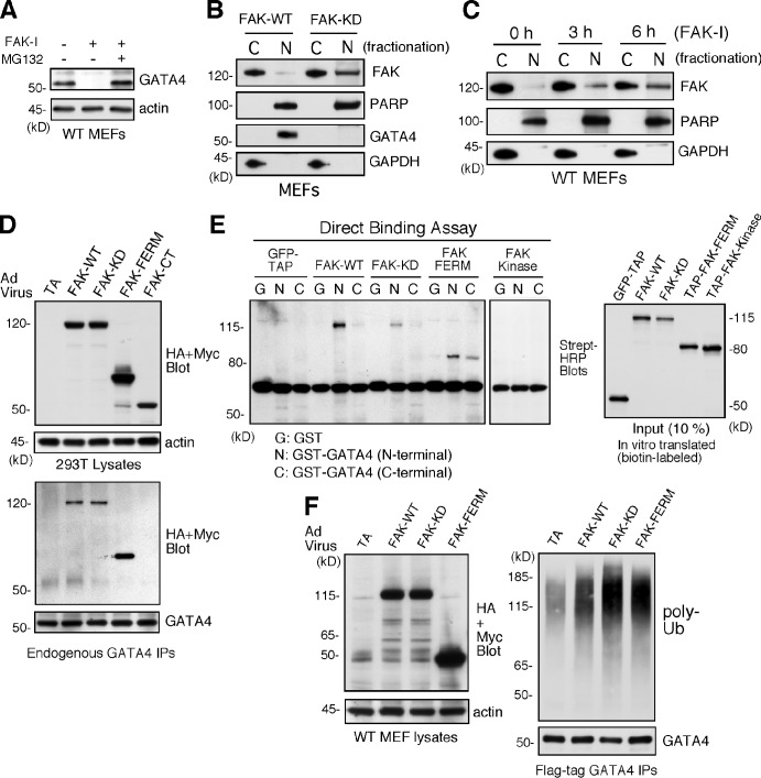Inhibited FAK is nuclear localized, and FAK-FERM binds GATA4 to promote GATA4 ubiquitination in cells. (A) FAK-WT MEFs treated with DMSO, FAK-I (1 µM PF271), or FAK-I with MG132 (40 µM) for 12 h and lysates blotted for GATA4 and actin. (B) FAK-WT and FAK-KD MEF lysates were separated into cytosolic (C) or nuclear (N) fractions and immunoblotted for FAK, PARP, GATA4, and GAPDH. PARP and GAPDH are nuclear and cytosolic markers, respectively. (C) FAK inhibition promotes FAK nuclear localization within 3 h. FAK-WT MEFs were treated with FAK-I (1 µM PF271) for the indicated times, and fractionated lysates were immunoblotted for FAK, PARP, and GAPDH. (D) 293T cells were transduced with Ad-TA, the indicated HA- or Myc-tagged FAK-WT, FAK-KD, FAK-FERM, and FAK-CT constructs, and association with endogenous GATA4 was determined by coimmunoprecipitation (IP). Immunoblotting shows expression of FAK constructs or actin (top) and FAK-FERM association with GATA4 (bottom). (E) GATA4 directly binds FAK. In vitro translated GFP–tandem affinity probe (TAP), FAK-WT, FAK-KD, TAP-FAK-FERM, and TAP-FAK kinase domain (386–686) were used in a direct binding assay with GST or GST fusions of GATA4 N terminus or GATA4 C terminus. Streptavidin (Strept)-HRP analyses show the amount of FAK bound (left) or 10% of input (right). (F) FAK-FERM enhances GATA4 ubiquitination. FAK-WT MEFs were transduced with Ad-TA, the indicated FAK constructs, and flag-tagged GATA4 and treated with MG132 (40 µM, 3 h). Whole-cell lysates were analyzed for expression of FAK or actin (left), and flag tag immunoprecipitates (antibody coupled to beads) were evaluated by anti-ubiquitin (Ub) and GATA4 immunoblotting.