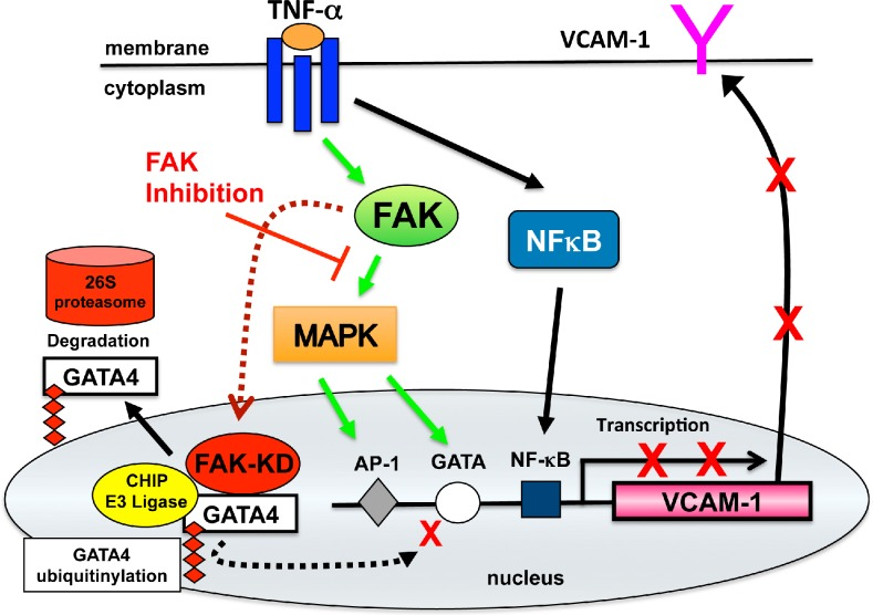 Model of FAK function downstream of TNF-α in the regulation of VCAM-1 expression. TNF-α binding to cell surface receptors triggers intracellular signaling cascade activation of MAPKs and NF-κB. This leads to alterations in gene transcription of targets such as VCAM-1 that is regulated in part by combined effects of AP-1, GATA, and NF-κB transcription factors. Inhibition of FAK prevents TNF-α–induced MAPK activation and the inhibition of GATA4 Ser105 phosphorylation. Inhibited FAK (FAK-KD) accumulates in the nucleus, binds directly to GATA4, and promotes increased GATA4 ubiquitination and proteasomal degradation via interactions with the CHIP E3 ubiquitin ligase. Impairment in both FAK-mediated MAPK activation and GATA4 stability prevent cytokine-stimulated VCAM-1 transcription and reveal novel anti-inflammatory effects of FAK inhibition.