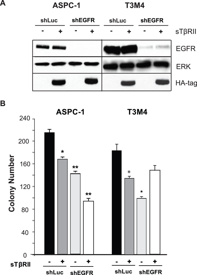 EGFR knockdown and sTβRII expression modulate colony formation in pancreatic cancer cells. (A) ASPC-1 and T3M4 human pancreatic cancer cells were infected with shLuc-LV (shLuc), shEGFR-LV (shEGFR), WPT-sTβRII (sTβRII), or both shEGFR and sTβRII. Cell lysates and conditioned media were then subjected to immunoblotting with anti-EGFR and anti-HA-tag antibodies, respectively, the latter serving to confirm sTβRII release by the cancer cells. An anti-ERK antibody served to assess lane loading. (B) The consequences of EGFR silencing with shEGFR and TGF-β sequestration with sTβRII were assessed by monitoring colony formation in 3-D culture (B). Data are the means ± SE of triplicate determinations from three independent experiments. *p
