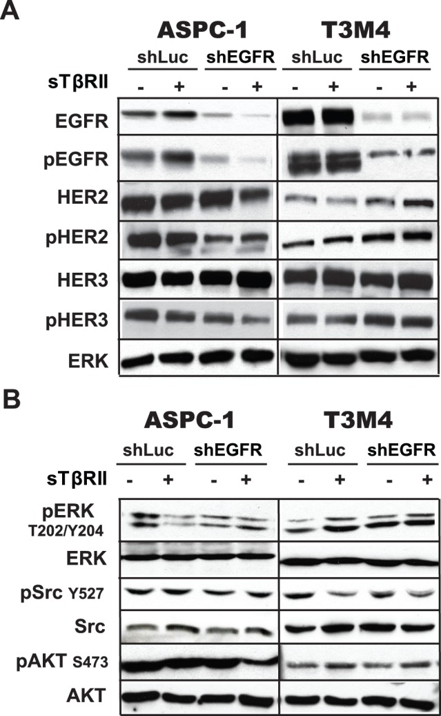 Effects of EGFR knockdown and sTβRII expression on receptor phosphorylation and downstream signaling. (A) Effects on receptor phosphorylation. ASPC-1 and T3M4 cells were infected as indicated with shLuc-LV (shLuc), shEGFR-LV (shEGFR), WPT-sTβRII (sTβRII), or both shEGFR and sTβRII. Cell lysates were subjected to immunoblotting with antibodies directed against the indicated receptors and phospho-receptors. (B) Cells were infected as indicated in A, and cell lysates were subjected to immunoblotting with antibodies directed against the indicated proteins and phospho-proteins. Each panel shows data from a representative of at least two independent experiments. In both panels A and B, immnoblotting with an anti-ERK antibody confirmed equivalent lane loading, but not all ERK blots are shown.