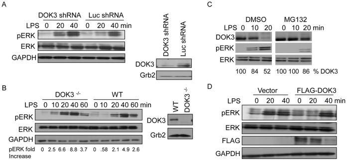 LPS-induced degradation of DOK3 mediates ERK activation. (A) RAW264.7 macrophages, transduced with 23 nt plus hairpin shRNA designed to knock down DOK3 or a control luciferase knock down, were lysed and decreased DOK3 expression was confirmed by immunoblotting. Cells were and stimulated with 1 µg/ml LPS for the indicated time and cell lysates were immunoblotted for pERK, ERK, and GAPDH. (B) Wild type (WT) or DOK3-deficient BMM were stimulated with 1 µg/ml LPS and cell lysates were immunblotted for pERK, ERK, and the GAPDH. The amount of DOK3 and Grb2 was detected by immunoblot in cell lysates. (C) BMM cells were pretreated with DMSO or 10 µM MG132 and stimulated with 1 µg/ml LPS for the indicated times. Lysates were immunoblotted for phosphorylated ERK (pERK), ERK, and DOK3. (D) RAW264.7 macrophages transfected with FLAG-tagged mouse DOK3- were stimulated with 1 µg/ml LPS for the indicated time and cell lysates were immunoblotted for pERK, ERK, FLAG and GAPDH. Data are representative of three independent experiments.