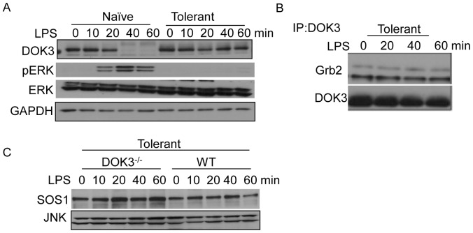 DOK3 and SOS1 are stable during LPS-induced tolerance. (A) BMM were pretreated with 1 µg/ml LPS for 18 hours, rested in fresh media for 2 hours and re-stimulated along with naïve cells with 1 µg/ml LPS for indicated time and cell lysates were immunoblotted for DOK3, pERK, ERK, and GAPDH. (B) Tolerant BMM were stimulated with 1 µg/ml LPS and cell lysates were immunoprecipitated with anti-DOK3 antibody and immunoblotted for Grb2 and DOK3. (C) Tolerant wild type and DOK3-deficient BMM were re-stimulated with 1 µg/ml LPS and lysates immunoblotted for SOS1 and JNK (loading control). Data are representative of three independent experiments.