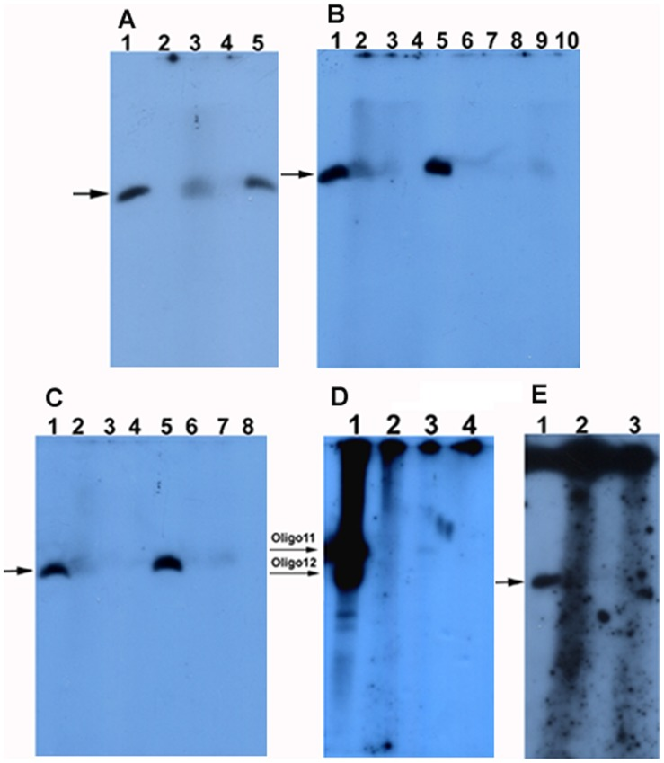 The radioautograph of oligo 11 phosphorylated by T4 DNA ligase. The oligo 11 was phosphorylated by using commercial T4 DNA ligase. The phosphorylation products were loaded on a 15% denaturing PAGE gel (10×10×0.03 cm, A:B = 29∶1, 7 M urea, 0.5 x TBE). Electrophoresis was run in 0.5 x TBE at 100 V and 25°C for 3 hrs. The gel was dried between two semipermeable cellulose acetate membranes and radioautographed at −20°C for 1–3 days. The arrows indicate the phosphorylation products. The positive controls were oligo 11 phosphorylated by T4 PNK. ( A ) Oligo 11 was phosphorylated by T4 DNA ligase at 37°C for 2 hrs. Lanes 1 and 5: the positive controls; Lanes 2 and 4: the negative controls without ligase, and without oligo 11, respectively; Lane 3: the phosphorylation products of oligo 11 by T4 DNA ligase. ( B ) Oligo 11 treated with CIAP was phosphorylated by T4 DNA ligase at 37°C for 2 hrs. Lanes 1 and 5: the positive controls; Lane 2: the phosphorylation products of oligo 11 by T4 DNA ligase; Lanes 3 and 4: the negative controls without ligase, and without oligo 11, respectively; Lanes 6, 7, and 8: oligo 11 treated with CIAP was phosphorylated by T4 DNA ligase. CIAP was inactivated at 85°C for 15 min, 30 min, and 60 min, respectively. Lanes 9 and 10: the negative controls without ligase, and without oligo 11, respectively. ( C ) Oligo 11 treated with CIAP was phosphorylated by T4 DNA ligase at 37°C for 2 hrs. Lanes 1 and 5: the positive controls; Lane 2: the phosphorylation products of oligo 11 by T4 DNA ligase; Lanes 3 and 4: the negative controls without ligase, and without oligo 11, respectively; Lanes 6, 7, and 8: oligo 11 treated with CIAP was phosphorylated by T4 DNA ligase. CIAP was inactivated at 85°C for 60 min, 15 min, and 30 min, respectively. ( D ) Oligos 11 and 12 were phosphorylated by T4 DNA ligase at 37°C for 1 hr. Lane 1: oligos 11 and 12 were phosphorylated by T4 PNK; Lane 2: oligos 11 and 12 were phosphorylated by T4 DNA ligase; Lane 3: oligo 11 were phosphorylated by T4 DNA ligase; Lane 4: the negative control without ligase. ( E ) Oligo 11 was phosphorylated by T4 DNA ligase at 37°C for 2 hrs. 1 x TE and 10% SDS were not added to the phosphorylation products before phenol/chloroform extraction. Lane 1: the positive control; Lanes 2 and 3: the phosphorylation products of oligo 11 by T4 DNA ligase and the negative controls without ligase, respectively.