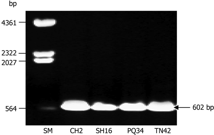 Agarose gel electrophoresis (0.8% w/v) of PCR products from ITS region of Trichoderma strains CH2, SH16, PQ34, and TN42. SM, DNA size marker (λDNA/ Hin d III).