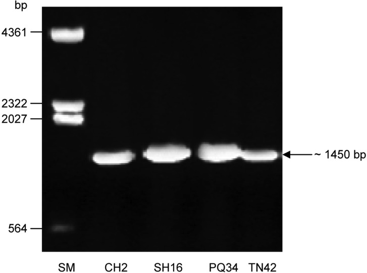 Agarose gel electrophoresis (0.8% w/v) of PCR products of CHI-F and CHI-R primers from Trichoderma strains CH2, SH16, PQ34 and TN42. SM, DNA size marker (λDNA/ Hin d III).