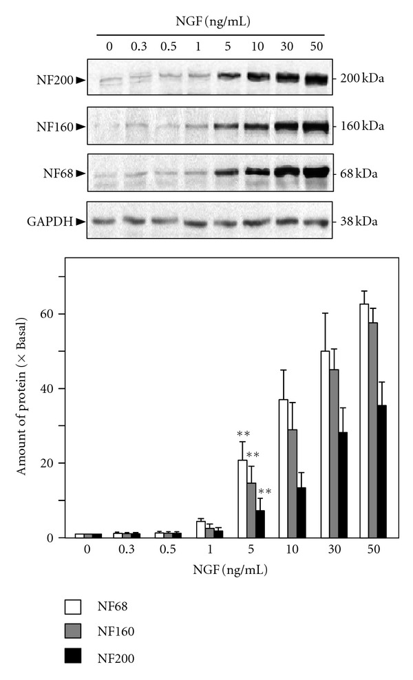 NGF induces the expression of neurofilaments in cultured PC12 cells. Cultured PC12 cells were treated with NGF (0.3 to 50 ng/mL) for 72 hours. The cell lysates were collected to determine the expressions of NF68 ( M r ~ 68 kDa), NF160 ( M r ~ 160 kDa), and NF200 ( M r ~ 200 kDa). GADPH ( M r ~ 38 kDa) served as a loading control (upper panel). Quantification plot was shown in lower panel. Values are expressed as the fold of change (×Basal) against the control (no treatment; set as 1), and in Mean ± SEM, n = 4, each with triplicate samples. Representative images were shown. ** P