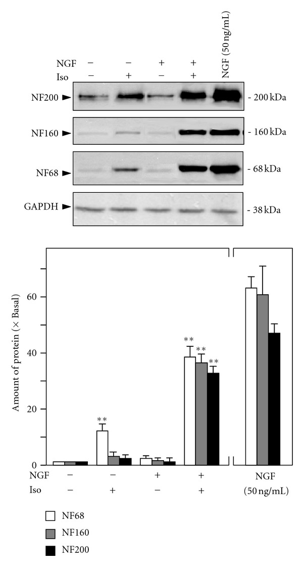 Isorhamnetin potentiates the NGF-induced neurofilament expression. Cultured PC12 cells were treated with NGF (0.5 ng/mL), isorhamnetin (10 μ M), and NGF (0.5 ng/mL) + isorhamnetin (10 μ M) for 72 hours. NGF at 50 ng/mL was applied as a control. The cell lysates were collected to determine the expressions of NF68, NF160, and NF200 (upper panel). GADPH served as a loading control. Quantification plot was shown in lower panel. Values are expressed as the fold of change (× Basal) against the control (no treatment; set as 1), and in mean ± SEM, n = 4. Representative images were shown. ** where P
