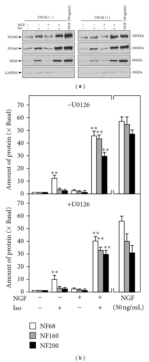The potentiating effect of isorhamnetin on NGF-induced response could not be blocked by U0126. Cultured PC12 cells, serum starvation for 5 hours, were treated with NGF (0.5 ng/mL), isorhamnetin (Iso; 10 μ M), and NGF (0.5 ng/mL) + isorhamnetin (Iso; 10 μ M) for 72 hours with or without the pretreatment of U0126 (20 μ M) for 3 hours. NGF at 50 ng/mL served as a positive control. (a) The cell lysates were collected to determine the expressions of NF68, NF160, and NF200. GADPH served as a loading control. (b) Quantification plot was shown in lower panel. Values are expressed as the fold of change (×Basal) against the control (no treatment; set as 1), and in mean ± SEM, n = 4. Representative images were shown. **where P