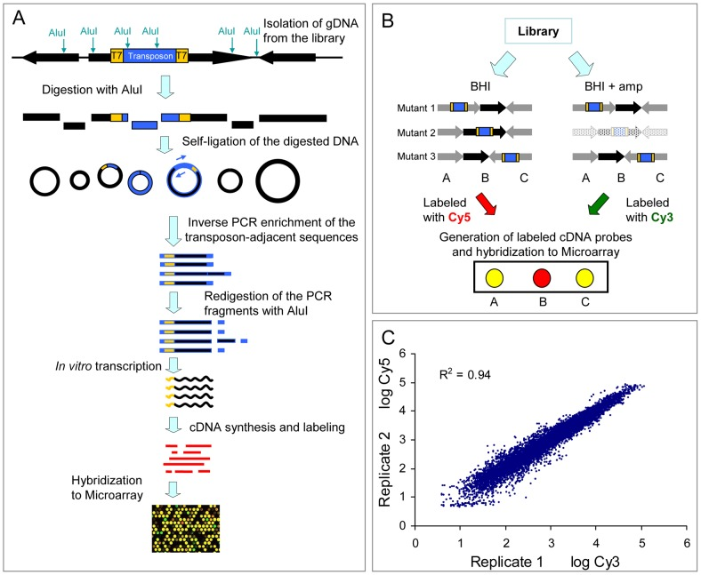 Schematic diagram and reproducibility of M-TraM. (A) Schematic overview of the M-TraM screening. In yellow: inverted terminal repeats (ITRs) of the himar1 transposon with outward-facing T7 promoters; in blue: the gentamicin resistance gene in the transposon. Genomic DNA is isolated from the E. faecium mutant library. DNA is digested with the restriction enzyme Alu I, and the DNA fragments are circularized by self-ligation. The transposon-chromosome junction together with an ITR and a T7 promoter is amplified by PCR with primers (blue arrow) that hybridize to the transposon. To eliminate foreign DNA fragments that ligated into the circularized DNA of transposon-chromosome junctions, the PCR products were re-digested with Alu I. The purified DNA fragments are used as template in the in vitro transcription reaction. The resulting RNA products are reverse transcribed into cDNA. After labelling, the cDNA is used for microarray hybridization. (B) Schematic overview of the screening strategy to identify conditionally essential genes by M-TraM. A chromosomal region encompassing three genes (A, B, and C) from three different mutants (1, 2, and 3) is shown. Each mutant carries a single transposon insertion (blue) that disrupts the function of the gene. Mutant libraries are grown in a control condition ( e.g. , BHI) and a test condition ( e.g. , in the presence of ampicillin). All the three genes are non-essential for growth in the control condition. Gene B is required only for the test condition, so mutant 2 exhibits attenuated growth or poorer survival only in the test condition, and will consequently be reduced or be entirely lost from this library (indicated by light shading). M-TraM samples are generated from the two conditions, labelled with different dyes, and hybridized to a microarray. The DNA probes of gene A and gene C on the microarray will hybridize to the samples generated from both conditions. However, the cDNA sample of gene B will be present at reduced levels only in the test condition. By comparing the signal intensity from the two conditions for each probe, genes involved in growth or survival of the test condition can be identified. (C) Reproducibility of M-TraM. Log-log plot of the microarray signal intensities from two independent experiments of mutant libraries grown under non-selective conditions in BHI broth.