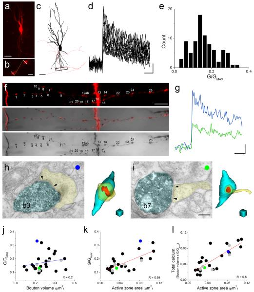 Measurement of volume averaged [Ca 2+ ] transients in CA3 pyramidal cell local axon terminals. ( a ) Two-photon image of a CA3 pyramidal cell filled with Alexa594 (red) and Fluo5F. ( b ) Higher magnification view of two boutons. White lines indicate the position of the line scans. ( c ) Neurolucida reconstruction of the cell shown in panel a . The majority of the axon (red) is truncated for clarity. Boxed area, enlarged in panel f, showing the scanned axon collateral segment. ( d ) Individual [Ca 2+ ] transients in 25 axon terminals (shown in panel f ) of the pyramidal cell. ( e ) Distribution of the peak amplitudes measured in 4 cells. ( f ) The two-photon image (upper panel) is superimposed (middle panel) on the transmitted light microscopic image (lower panel) following aldehyde fixation and visualization of the intracellular biocytin with diaminobenzidine. ( g ) [Ca 2+ ] transients from two boutons are shown (b3, b7). ( h-i ) Electron microscopic images (left) and 3D reconstructions (right) of two boutons (b3: blue, b7: green) that established excitatory synapses on pyramidal cell spines (yellow, arrowheads demarcate the PSDs). ( j ) Peak amplitude of the [Ca 2+ ] transients does not correlate with the bouton volume (p = 0.3, n = 27 boutons, n = 4 cells, n = 4 animals). ( k ) The peak [Ca 2+ ] shows a significant (p