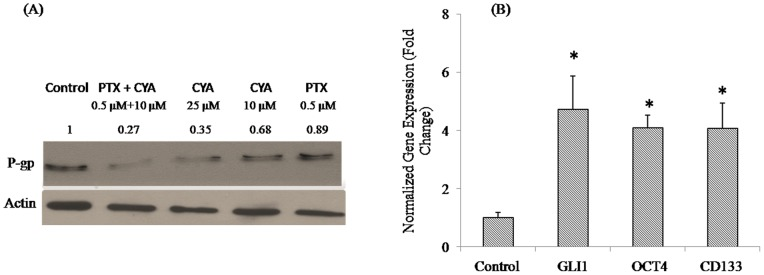 Effect of PTX and CYA on P-gp expression in DU145-TXR cells. Following treatment, with various drugs as described, total protein was extracted and separated by SDS-PAGE before probing with P-gp antibody. Actin was used as a loading control. A combination of 0.5 µM PTX and 10 µM CYA was more effective in downregulating P-gp expression in drug-resistant prostate cancer cells than monotherapy with either CYA or PTX at 10 and 0.5 µM concentration. P-gp downregulation with 25 µM CYA was nearly similar to that obtained by combination therapy. (B) Expression of Hh pathway and stem cell marker genes in DU145-TXR cells. Total RNA was extracted from cells and reverse transcribed to cDNA. Real time RT-PCR was carried out using SYBR Green chemistry and Ct values thus obtained were used to calculate the fold change. Drug resistant DU145-TXR cells have higher expression of all three genes tested. PTX sensitive DU145 cells were used as control and gene expression values for DU145-TXR cells were normalized with respect to the control values. * p