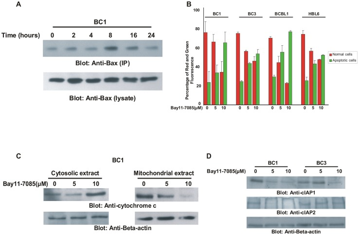 Bay11-7085 treatment of PEL cells activates mitochondrial apoptotic pathway in PEL cell lines. ( A ) Bay11-7085-induced Bax activation in PEL cells. After treating with 10 µM Bay11-7085 for indicated time periods, BC1 cells were lysed in 1% Chaps lysis buffer and subjected to immuno-precipitation with anti-Bax 6A7 antibody for detection of conformationally changed Bax protein. In addition, the total cell lysates were applied directly to SDS–PAGE, transferred to immobilon membrane and immuno-blotted with specific anti-Bax polyclonal antibody. ( B ) Bay11-7085 treatment causes change in mitochondrial membrane potential in PEL cells. PEL cells were treated with and without 5 and 10 µM Bay11-7085 for 24 hours. Live cells with intact mitochondrial membrane potential and dead cells with lost mitochondrial membrane potential was measured by JC-1 staining and analyzed by flow cytometry as described in Materials and Methods . ( C ) Bay11-7085 treatment causes release of cytochrome c from mitochondria into cytosole in PEL cells. BC1 cells were treated with 5 and 10 µM Bay11-7085 for 24 hours. Mitochondrial free cytosolic fractions and cytosolic extracts were isolated and immunoblotted with antibody against cytochrome c and Beta-actin. ( D ) Bay11-7085 treatment causes down-regulation of IAPs in PEL cells. BC1 and BC3 cells were treated with 5 and 10 µM Bay11-7085 for 24 hours. Cells were lysed and equal amounts of proteins were separated by SDS-PAGE, transferred to PVDF membrane, and immunoblotted with antibodies against cIAP1 and cIAP2. Beat actin was used for equal loading.
