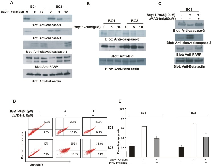 Bay11-7085 induced apoptosis is caspase dependent in PEL cell lines. ( A ) Activation of caspases-9, -3, and cleavage of PARP induced by Bay11-7085 treatment in PEL cells. BC1 and BC3 cells were treated with 5 and 10 µM Bay11-7085 for 24 hours. Cells were lysed and equal amounts of proteins were separated by SDS-PAGE, transferred to PVDF membrane, and immunoblotted with antibodies against caspase-9, caspase-3, cleaved caspase-3 and PARP. Beta-actin was used for equal loading. ( B ) Bay11-7085 treatment causes cleavage of caspase-8 and truncation of Bid in PEL cells. After treatment with 5 and 10 µM Bay11-7085 for 24 hours, cells were lysed, and equal amount of proteins were separated by SDS-PAGE, transferred to PVDF membrane, and immunoblotted with antibodies against caspase-8 and Bid. ( C, D and E ) Bay11-7085-induced apoptosis is caspase dependent in PEL cells. PEL cells were pre-treated with 80 µM zVAD-fmk for 2 hours and then treated with 10 µM Bay11-7085 for 24 hours. Following treatment, cells were either lysed and equal amounts of proteins were separated by SDS-PAGE, transferred to PVDF membrane, and immunoblotted with antibodies against caspase-3, cleaved caspase-3 and PARP ( C ) or stained with FITC conjugated annexin V/PI and analyzed by flow cytometry ( D ). Bar graph denotes percentage apoptosis from three independent experiments ( E ).