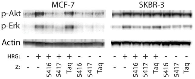 Western blot analysis of phosphorylated Akt and Erk upon addition of heregulin and/or HER3-specific Affibody molecules. Phospho-Akt and phospho-Erk detected by western blot of cell lysates from MCF-7 and SKBR-3 cells treated with (+) or without (−) 0.05 nM heregulin (HRG) and 100 nM Affibody molecules (Z). As a control, β-actin was detected to show that the protein concentrations of the different lysates were equivalent.