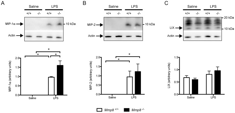 Chemokine levels in lung tissue. N = 7/group. LPS injection increased levels of <t>MIP-1α</t> (A, p