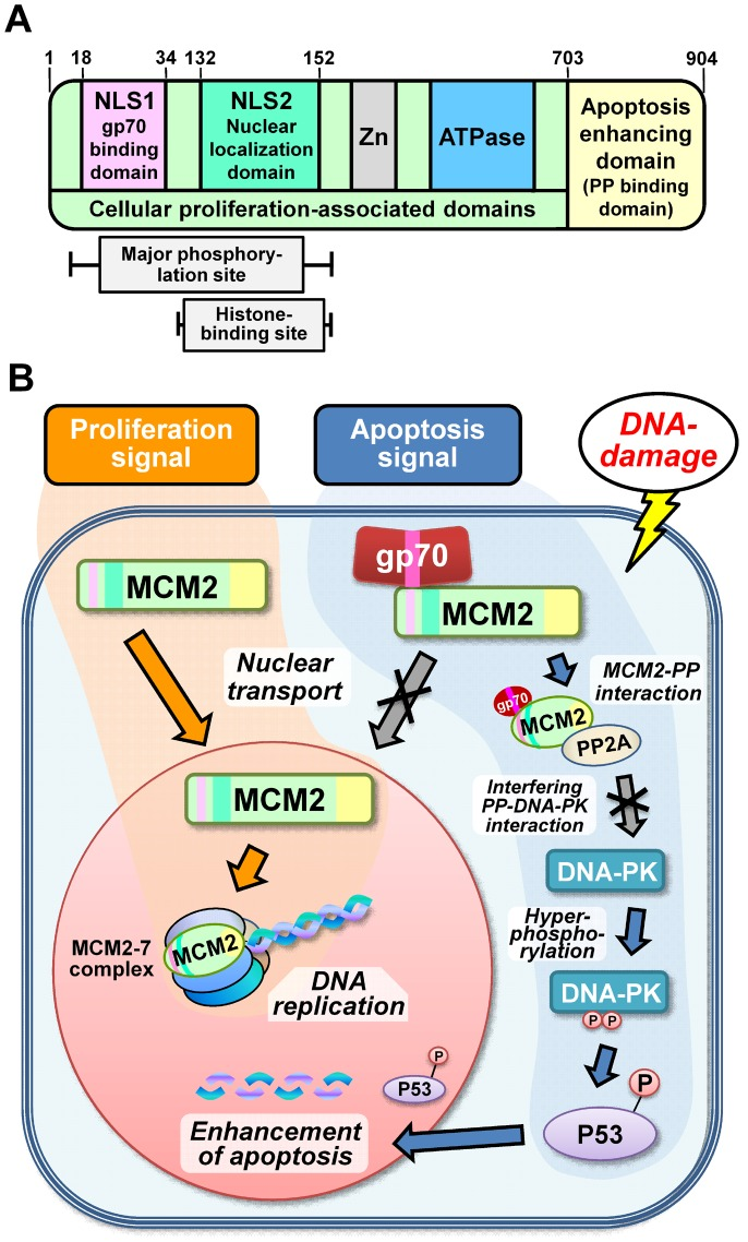 Schematic illustration of the structure of MCM2 and its functions in the cytoplasm and nucleus. ( A ) The various functional domains of the MCM2 protein are shown, and the domains and regions required for the activities are indicated. ( B ) Schematic of the novel role of MCM2 in apoptosis enhancement. Normally, MCM2 is recruited into the nucleus for participation in DNA replication. As a result, cellular proliferation is upregulated (proliferation signal). However, when gp70 is present in the cytoplasm, it binds to MCM2 and inhibits its nuclear entry. Furthermore, cytoplasmic gp70-MCM2-complex interacts with PP2A and inhibits its interaction with DNA-PK. Consequently, hyperphosphorylated DNA-PK enhances DNA-damage-induced apoptosis via a P53-related pathway (apoptosis signal).