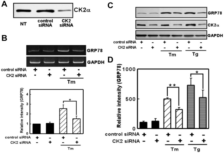 Knocking down CK2 inhibited ER stress-induced GRP78 expression. (A) Western blot analysis of endogenous CK2α expression in lysates of nontransfected cells (NT) and cells transfected with (short interfering RNA) siRNAs (75 nM) directed at CK2 or the control sequence. CK2 siRNA reduced the expression of CK2 compared with NT or control siRNA. (B) CK2 siRNA decreased ER stress-induced GRP78 expression compared with control siRNA. Primary cultured glial cells were transfected with 75 nM siRNA and treated with tunicamycin (Tm: 0.01 µg/mL) for 4 h. RT-PCR was then performed. n = 3/group (C, D) CK2 siRNA decreased ER stress-induced GRP78 expression compared with control siRNA. Primary cultured glial cells were transfected with 75 nM siRNA, treated with tunicamycin (Tm: 0.01 µg/mL) or thapsigargin (Tg: 0.01 µM) for 18 h, and subjected to Western blotting. n = 3–4/group * p