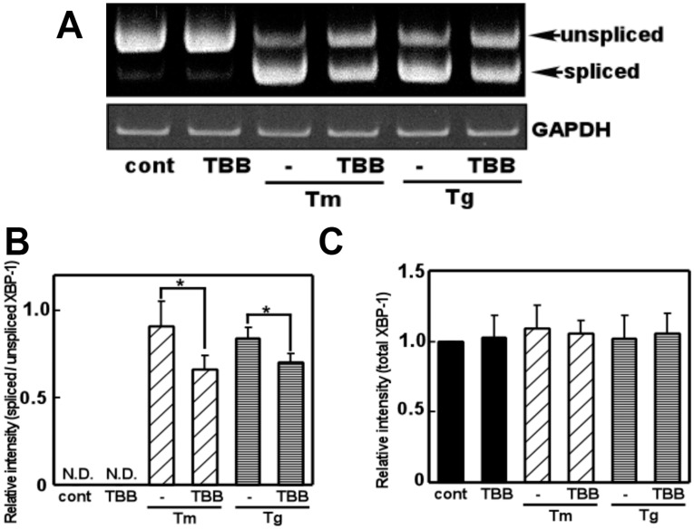 The CK2 inhibitor inhibited ER stress-induced XBP-1 mRNA splicing. (A) Primary cultured glial cells were pre-treated with 4,5,6,7-tetrabromobenzotriazole (TBB: 5 µM) for 3 h, treated with tunicamycin (Tm: 0.01 µg/mL) or thapsigargin (Tg: 0.01 µM) for 6 h, and subjected to a RT-PCR analysis. (B) Densitometric analysis of spliced/unspliced XBP-1 mRNA. An ER stress inducer increased XBP-1 splicing and this effect was significantly inhibited by TBB. n = 4–5/group * p