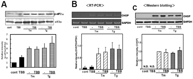 The CK2 inhibitor did not affect the eIF2α-CHOP arm of the ER stress-induced UPR. (A) Primary cultured glial cells were pre-treated with 4,5,6,7-tetrabromobenzotriazole (TBB: 5 µM) for 3 h and treated with tunicamycin (Tm: 0.01 µg/mL) or thapsigargin (Tg: 0.01 µM) for 4 h. Western blotting was then performed. TBB did not affect ER stress-induced eIF2α phosphorylation. Densitometric analysis of the normalization data of the phospho-eIF2α and eIF2α intensities were done. n = 3 per group. (B) Primary cultured glial cells were pre-treated with 4,5,6,7-tetrabromobenzotriazole (TBB: 5 µM) for 3 h and treated with tunicamycin (Tm: 0.01 µg/mL) or thapsigargin (Tg: 0.01 µM) for 6 h. A RT-PCR analysis was then performed. n = 3/group TBB did not affect ER stress-induced CHOP mRNA expression. (C) Primary cultured glial cells were pre-treated with 4,5,6,7-tetrabromobenzotriazole (TBB: 5 µM) for 3 h and treated with tunicamycin (Tm: 0.01 µg/mL) or thapsigargin (Tg: 0.01 µM) for 18 h. Western blotting was then performed. n = 4/group TBB did not affect ER stress-induced CHOP protein production. Results are expressed as the means ± S.E.