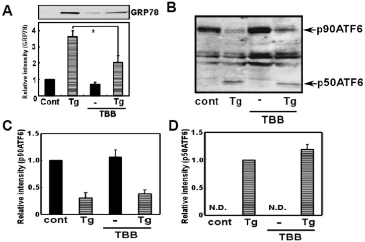 CK2 inhibitor did not affect ER stress-induced ATF6 processing. (A) SH-SY5Y cells were pre-treated with 4,5,6,7-tetrabromobenzotriazole (TBB: 5 µM) for 3 h, and then treated with thapsigargin (Tg: 10 µM) for 18 h and Western blotting analysis was performed. TBB inhibited ER stress-induced GRP78 expression. * p