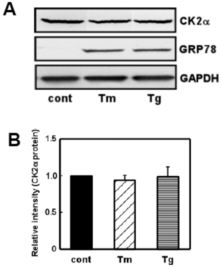ER stress did not affect expression of CK2. (A) Primary cultured glial cells were treated with tunicamycin (Tm: 0.01 µg/mL) or thapsigargin (Tg: 0.01 µM) for 18 h and subjected to Western blotting. ER stress increased GRP78 levels whereas it did not affect levels of CK2. (B) Densitometric analysis of expression of CK2. n = 4/group. Results are expressed as the means ± S.E.