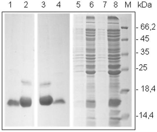 SDS-PAGE (15%) analysis of recombinants TcPR-10 Wild Types (wt) and Mutant (mut) proteins expressed in E. coli BL21(DE3). 1 – Soluble fraction TcPR-10 mut; 2 – Insoluble fraction TcPR10 mut; 3 – Soluble fraction TcPR-10 wt; 4 – Insoluble fraction TcPR10 wt; 5 - pET28a-TcPR-10 mut without induction; 6 - pET28a-TcPR-10 mut after induction; 7 - pET28a-TcPR-10 wt without induction; 8 - pET28a-TcPR-10 mut 3 h after induction; M - Protein molecular weight markers.
