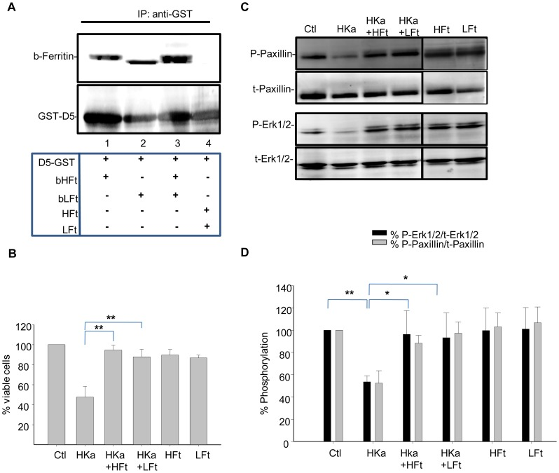 Recombinant HFt and LFt bind to HKa and and inhibit its anti-proliferative activity. A. Binding of recombinant HFt and LFt to domain 5 of HKa. Purified and biotinylated recombinant HFt (20 µg) or LFt (20 µg) were incubated with 10 µg GST-D5 and the resulting complexes immunoprecipited with anti-GST antibody. Non-biotinylated HFt and LFt were used in the immunopreciptation shown in lane 4. The membranes were probed with streptavidin-HRP to detect biotinylated ferritin (b-ferritin) as well as with anti-GST antibody. B. Cells were treated with 50 nM HKa alone, or co-treated with 100 nM of HFt or LFt in the presence of 20 ng/ml bFGF and 10 µM ZnCl 2 . Cell viability was assessed using an MTT assay 24 hours post-treatment. Shown are means and standard deviation of triplicate experiments with ** p