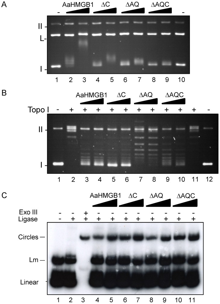 DNA transactions by recombinant AaHMGB1 proteins. (A) Preferential binding of AaHMGB1 protein to supercoiled DNA. An equimolar mixture of supercoiled and linearized plasmid pTZ19R (∼10 nM) was pre-incubated with increasing amounts of AaHMGB1 (0.5–1 µM) and the DNA–protein complexes were resolved on a 1% agarose gel, followed by staining of the gel with ethidium bromide. Form I, supercoiled DNA; L, Linear DNA; Form II, relaxed circular DNA; (B) DNA supercoiling by AaHMGB1 and its truncated forms. Circular relaxed plasmid pTZ19R DNA was incubated in the presence of topoisomerase I (Topo I) and AaHMGB1 recombinant proteins (7–14 µM). Deproteinized DNA topoisomers were resolved on 1% agarose gels, followed by staining of the gel with ethidium bromide. Form I, supercoiled DNA; Form II, relaxed circular DNA. (C) DNA bending by AaHMGB1 and its truncated forms. A  32 P-labeled 123-bp DNA fragment (∼1 nM) was pre-incubated with recombinant proteins (25–50 nM) followed by ligation with T4 DNA ligase. Exonuclease III was used to verify the identity of DNA circles. The deproteinized DNA ligation products were subjected to electrophoresis on 6% non-denaturing polyacrylamide gels and visualized by autoradiography. Lm: linear multimers. Exo III, exonuclease III. These experiments were repeated three to five times each.