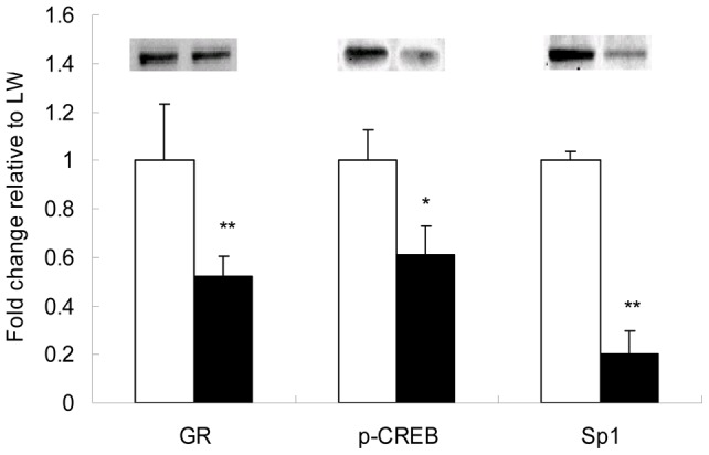 Western blot analysis of GR, p-CREB and Sp1 in liver nuclear protein extracts of LW and EHL pigets. <t>Histone</t> H1 was used as a loading control. The nuclear contents of the transcription factors are presented as the fold change relative to LW. Blank bars represent Large White (LW) piglets; filled bars represent Erhualian (EHL) piglets. Values are presented as mean ± SEM. ** donates P