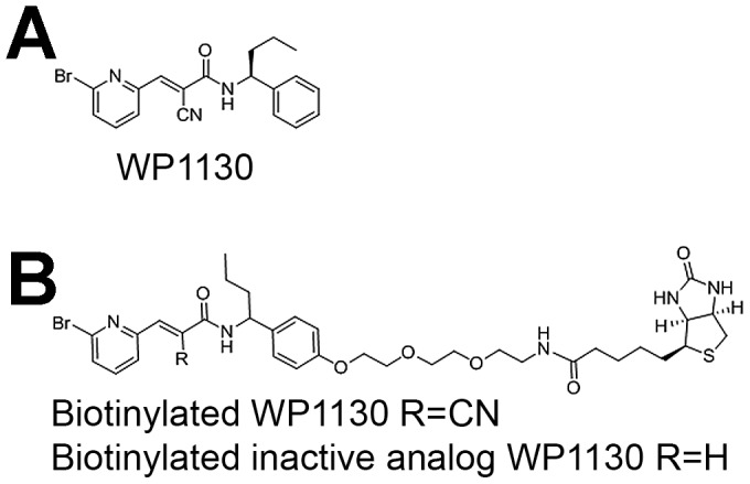Chemical structures of WP1130 and its derivatives used herein. (A) WP1130, (B) <t>biotinylated</t> WP1130 and an inactive analog.