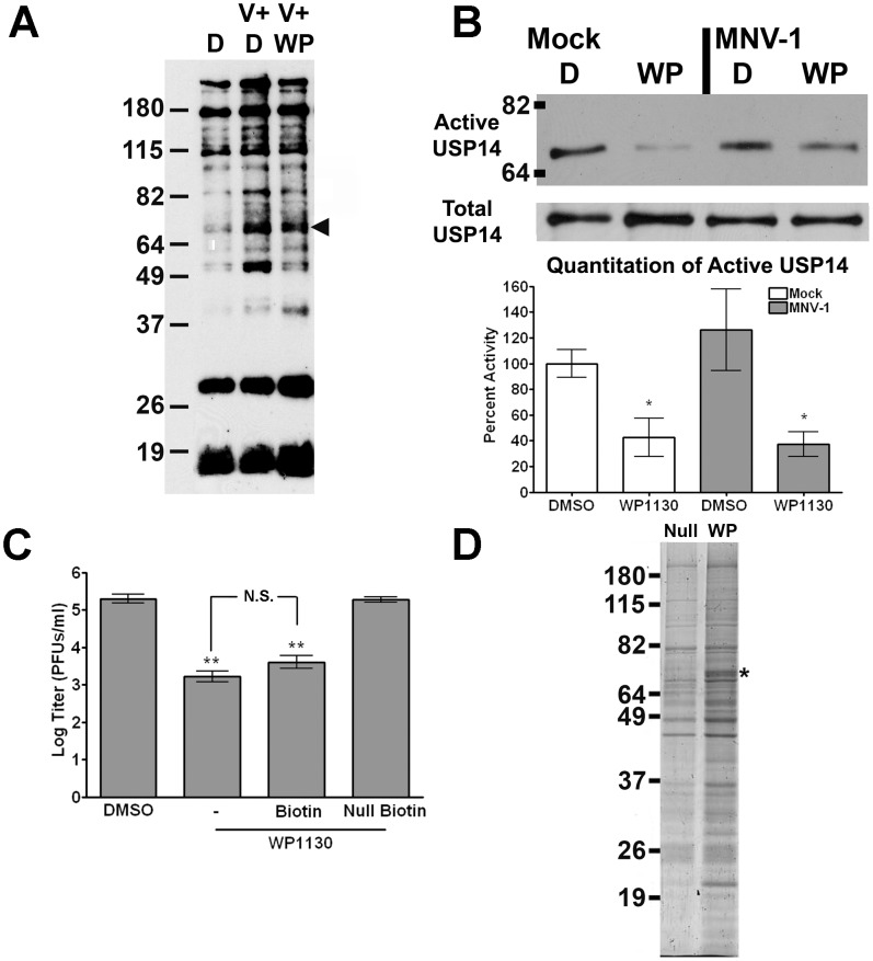 WP1130 inhibits the host deubiquitinase USP14 in murine macrophages. (A) WP1130 treatment inhibits the activity of multiple DUBs in murine macrophages. RAW cells were treated with DMSO (D, V+D) or 5 µM WP1130 (V+WP) for 30 minutes prior to infection. Cells were then infected with MNV-1 (V+D, V+WP) or mock lysate (D), washed, and incubated for an additional hour. Cell lysates were incubated with a non-hydrolysable ubiquitin conjugated to an HA tag (HA-UbVS) before separation by SDS-PAGE and immunoblotting with an anti-HA antibody. The experiment was performed three times and a representative blot is shown. A band of the anticipated molecular weight for USP14 is indicated by the arrow head. (B) WP1130 treatment inhibits USP14 activity. RAW cells were treated with DMSO (D) or 5 µM WP1130 (WP) and then infected with MNV-1 (MOI 5) or mock lysate, washed, and incubated for an additional hour. Cell lysates were labeled with HA-UbVS and immunoprecipitated using an anti-HA antibody. Proteins were separated by SDS-PAGE and immunoblots performed using an anti-USP14 antibody. A representative blot is shown (top, Active USP14). Densitometry was performed on four independent experiments, quantitated, and normalized to the mock- and DMSO-treated sample (bottom, Quantitation of Active USP14). As a control, immunoblots were performed for total USP14 levels in cell lysates prior to DUB labeling (middle, Total USP14). (C) Biotinylated WP1130 inhibits MNV-1 infection in RAW cells. Cells were treated with DMSO or 5 µM of WP1130 (WP1130), biotinylated WP1130 (Biotin), inactive biotinylated WP1130 analog (Null Biotin) prior to MNV-1 infection (MOI 5). Viral titers were determined by plaque assay 8 hours post-infection. Data from three independent experiments with two experimental replicates per condition are presented as means +/− S.E.M. ** P