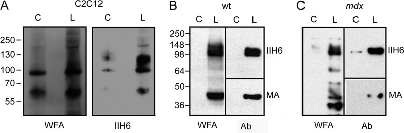 Identification of WFA binding glycoproteins in control-treated versus lobeline-treated cells. A , equal amounts of cell protein from lysates of C2C12 myotubes treated with 100 μ m lobeline ( L ) or control ( C ) for 48 h were precipitated with WFA beads, bound proteins were eluted with GalNAc, eluted proteins were separated by SDS-PAGE, and blots were probed with WFA or mAb IIH6. Equal amounts of cell protein from lysates of wild type ( wt ) ( B ) or mdx myotubes ( C ) treated with lobeline or control were precipitated with WFA beads, bound proteins were eluted with GalNAc, eluted proteins were separated by SDS-PAGE, and blots were probed with WFA or mAbs IIH6 or MANDAG2 ( MA ), which recognizes β-DG. Results are representative of four independent experiments.