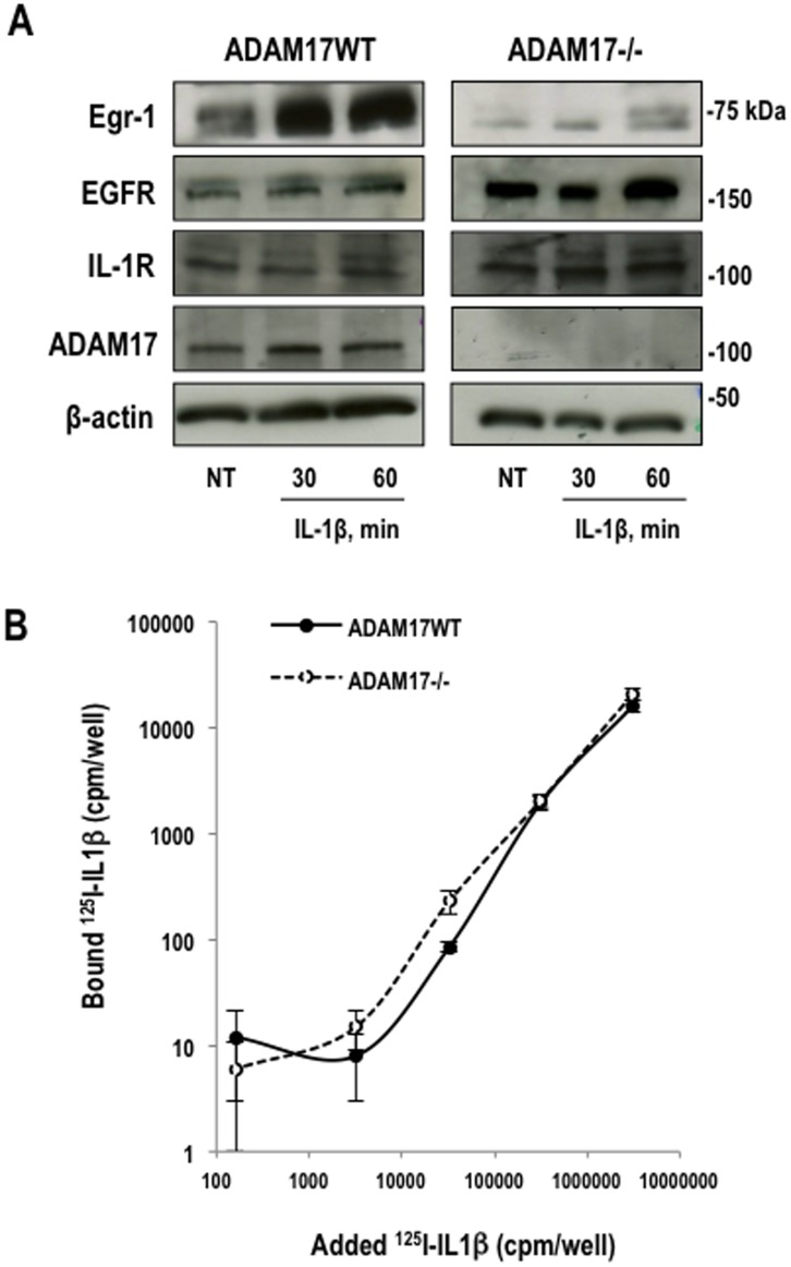 ADAM17 is required for IL-1beta–inducible Egr-1 expression. ( A ) Western blotting for Egr-1, ADAM17, EGFR, IL-1RI or beta-actin using total extracts of growth-quiescent wild-type or ADAM17-deficient mEFs treated with IL-1beta for 30 or 60 min. ( B ) Interaction of 125 I-IL-1beta with ADAM17WT and ADAM17-deficient cells. Growth-quiescent ADAM17WT and ADAM17−/− mEFs (1.8×10 4 cells/well) were incubated with increasing amounts of 125 I-IL-1beta in 1% BSA/PBS for 1 h at 4°C. The cells were washed and lysed with 1M NaOH prior to assessment of counts in an automated gamma-counter.