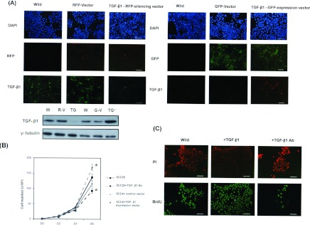 Effect of TGF-β1 in cancer cell proliferation (A) Effects of the TGF-β1–RFP-silencing vector and TGF-β1–GFP-expression vector on the level of TGF-β1 in SCC4 cells as determined by immunofluorescence. Expression of TGF-β1 in SCC4 transfectants was also examined by Western blot analysis. W or Wild, wild-type; R-V, cells with control–RFP vector; TG-, cells with the TGF-β1–RFP-silencing vector; G-V, cells with control–GFP vector; TG + , cells with the TGF-β1–GFP-expression vector. (B) Effect of TGF-β1 on the proliferation rate of cancer cells. The same number of cells (10 4 ) were plated on to each plate on day (D) 0 and were allowed to grow in their respective cultures. The number of viable cells after incubation for 2, 4 and 6 days were counted. * P