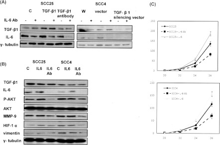 Effect of IL-6 on TGF-β1 expression and the proliferation rate in oral cancer cells (A) Effect of IL-6 on the level of TGF-β1 was examined by Western blotting. Representative blots from experiments performed in triplicate are shown. (B) Effect of IL-6 signalling on the levels of HIF-1α, TGF-β1, vimentin and MMP-9 in oral cancer cells. Representative blots from experiments performed in triplicate are shown. Ab, antibody; W, wild-type. (C) Effects of IL-6 on the proliferation rate of oral cancer cells. The same number of cells (10 4 ) were plated on day 0 and were allowed to grow in their respective cultures. The number of viable cells after incubation for 2, 4 and 6 days was counted. The relative viable cell number normalized to that under control conditions was calculated. Values are means±S.D. for three separate experiments; * P